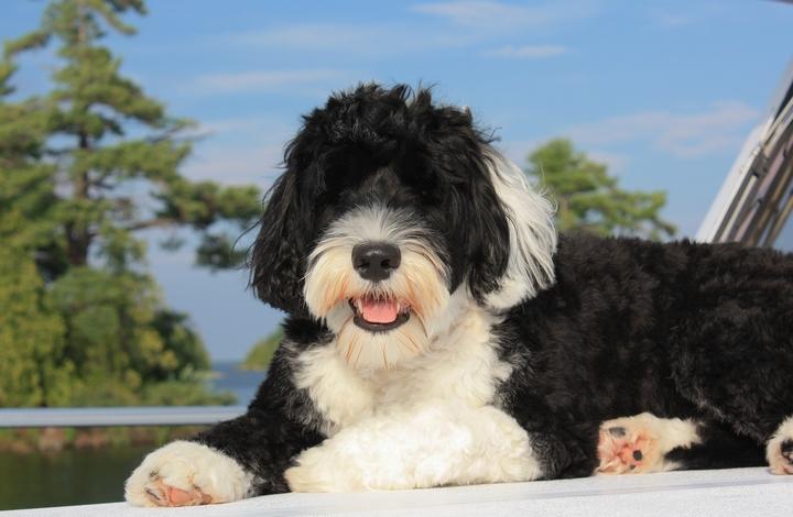 Newborn Portuguese Water Dog Puppy